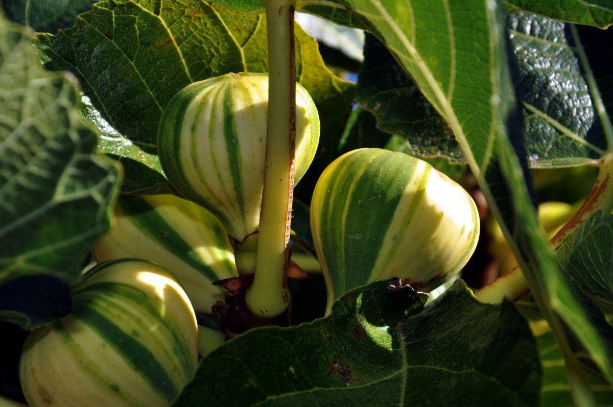 Les figues panachées.