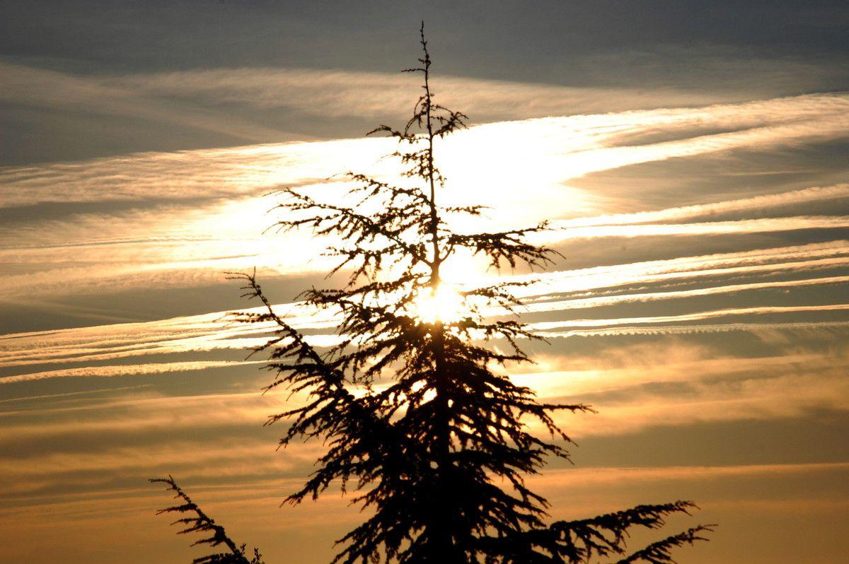 Un bon pin ou sapin au soleil levant.