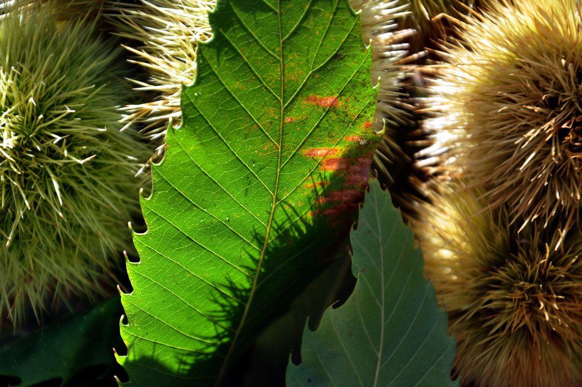 Et tout la beauté de la châtaigne et des feuilles.
