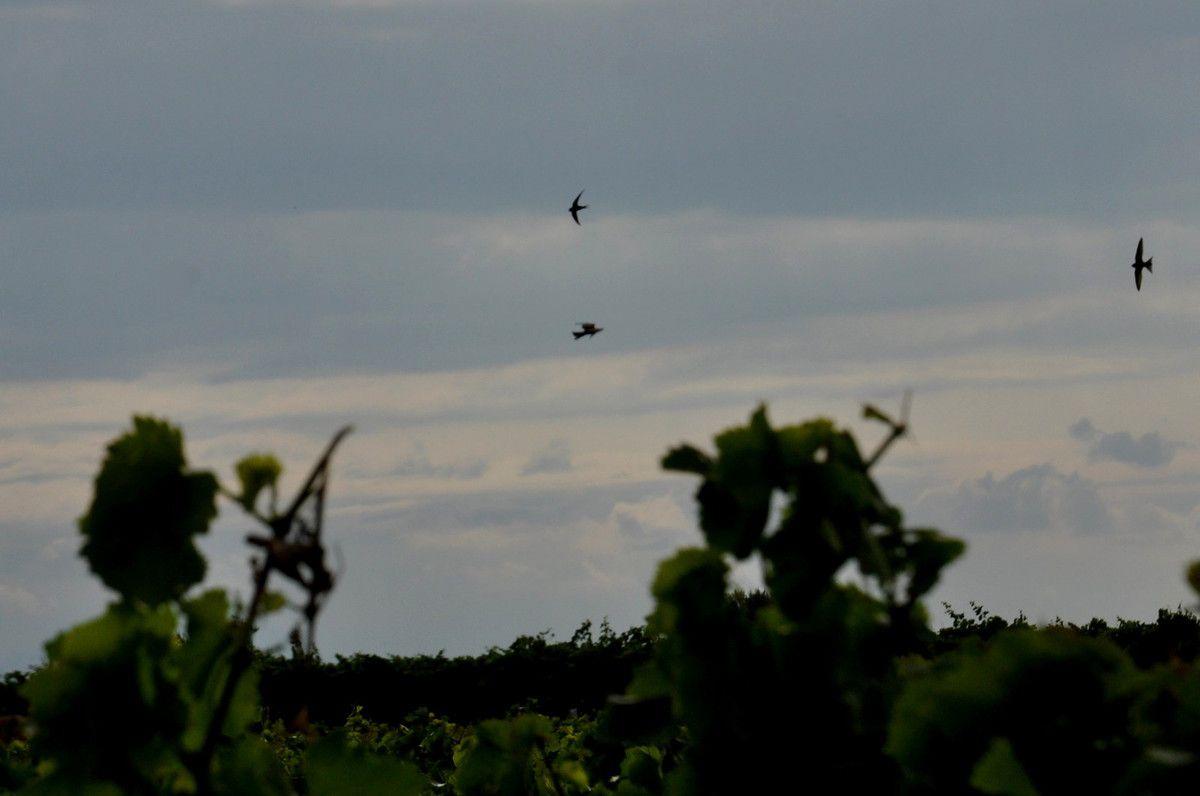 La vigne est au premier plan.