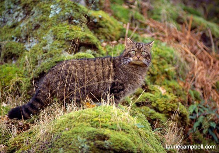 sauvegarder les chats sauvages des Highlands d'Écosse