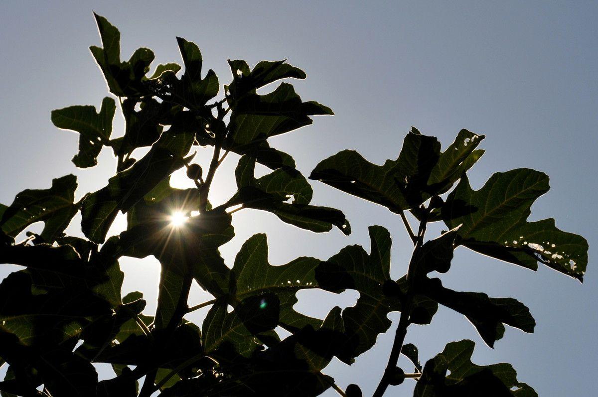 Le fruit du soleil de la fin d'été.