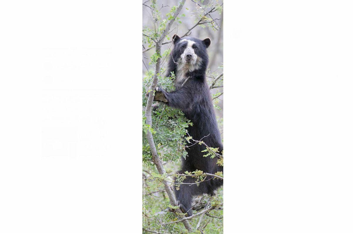 espèces d'ours au Muséum national d'Histoire naturelle