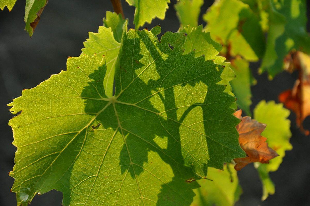 Les belles feuilles de vigne.
