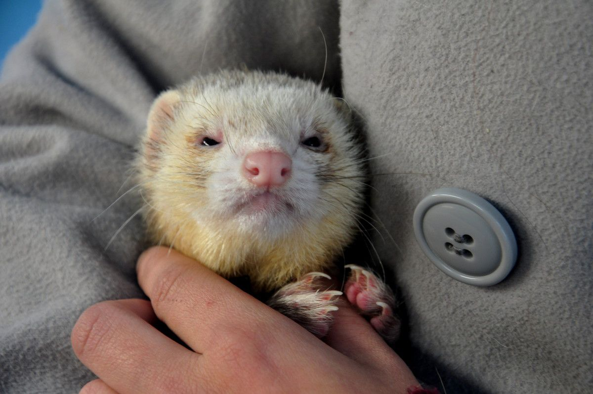 Le furet vedette du week-end.