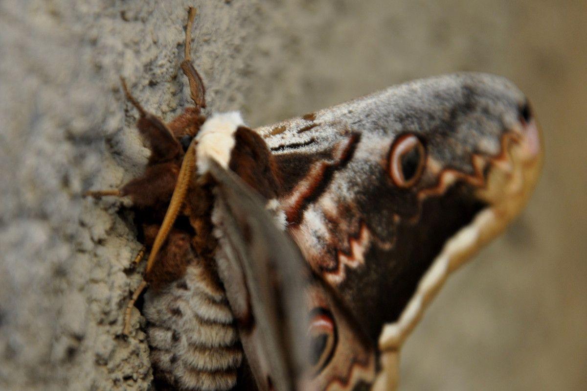 Chouette les antennes arrivent pour le plus grand papillon d'europe.