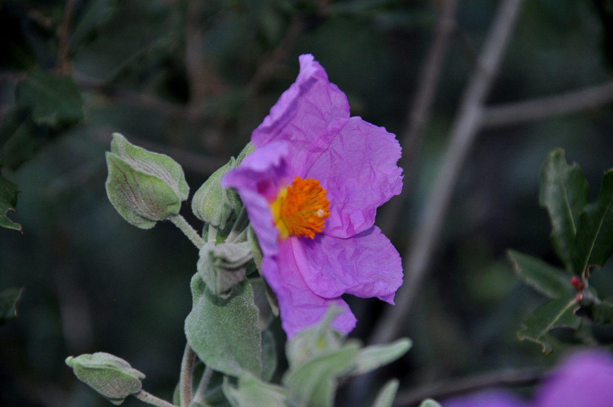 fleur de ciste.
