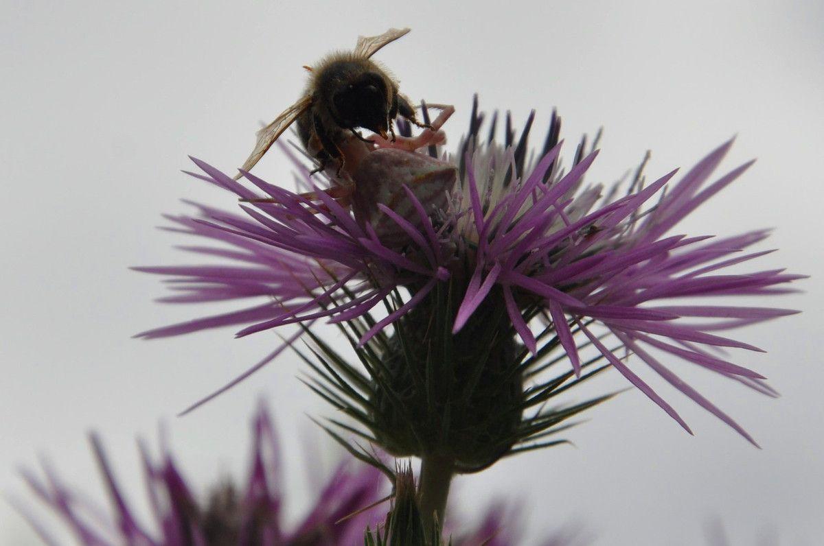 La thomise se cache, prend la couleur de la fleur pour chasser, une abeille pour elle.