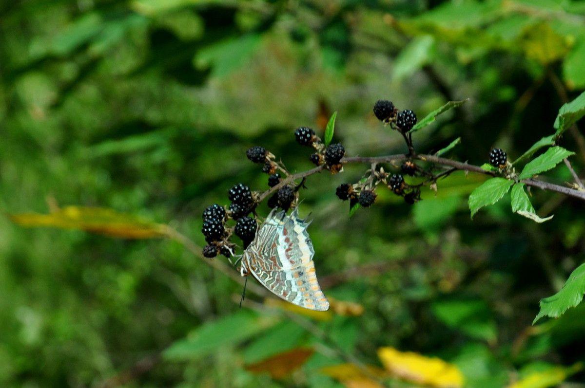 Grands papillons maintenant.