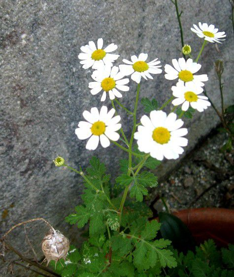 petites fleurs de camomille