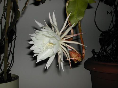 plante &quot&#x3B;LA REINE DE LA NUIT &quot&#x3B; - connaissez-vous ?