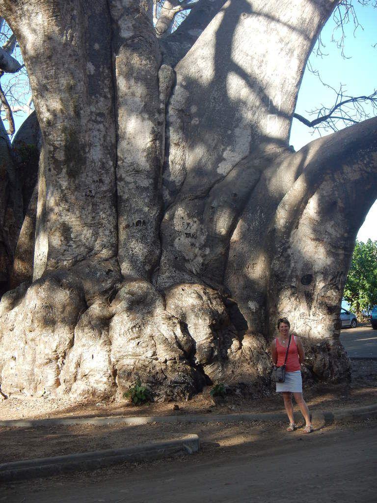 Le baobab de Musical plage, à côté de Bandrélé. Ce baobab a plus de 600 ans et une circonférence de 28m.