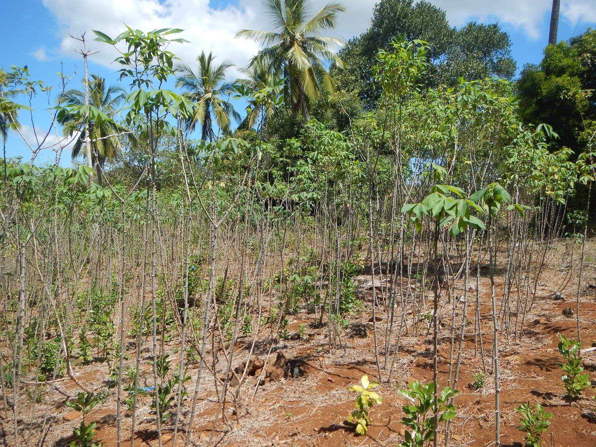 La culture du manioc