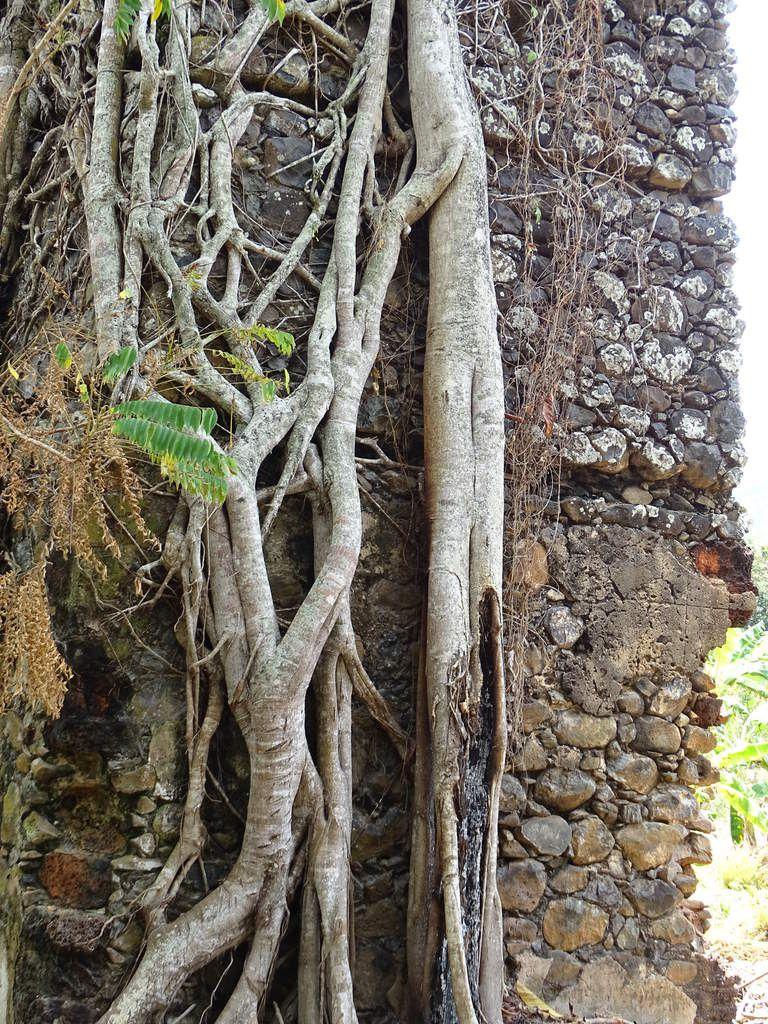 La cheminée prisonnière d'un magnifique ficus étrangleur.