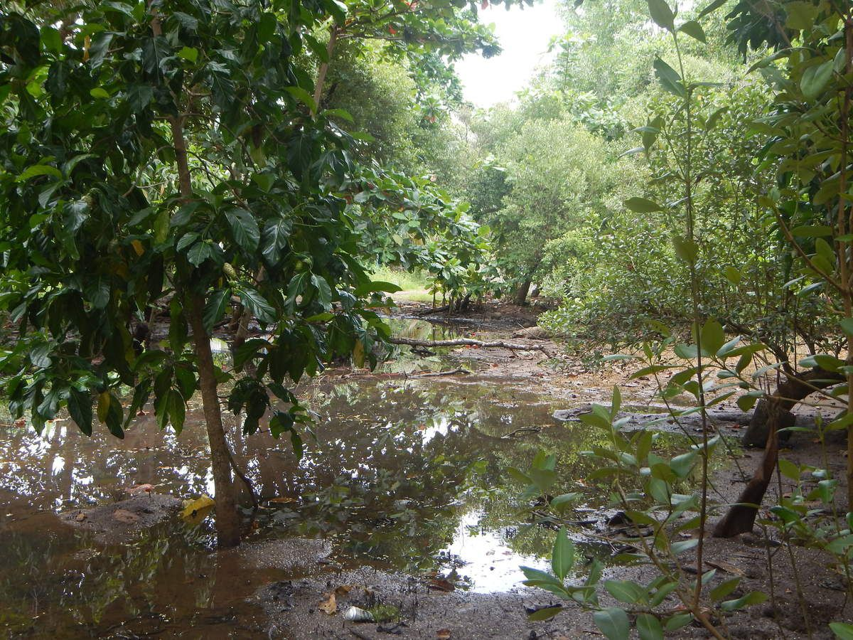 L'arrière mangrove.