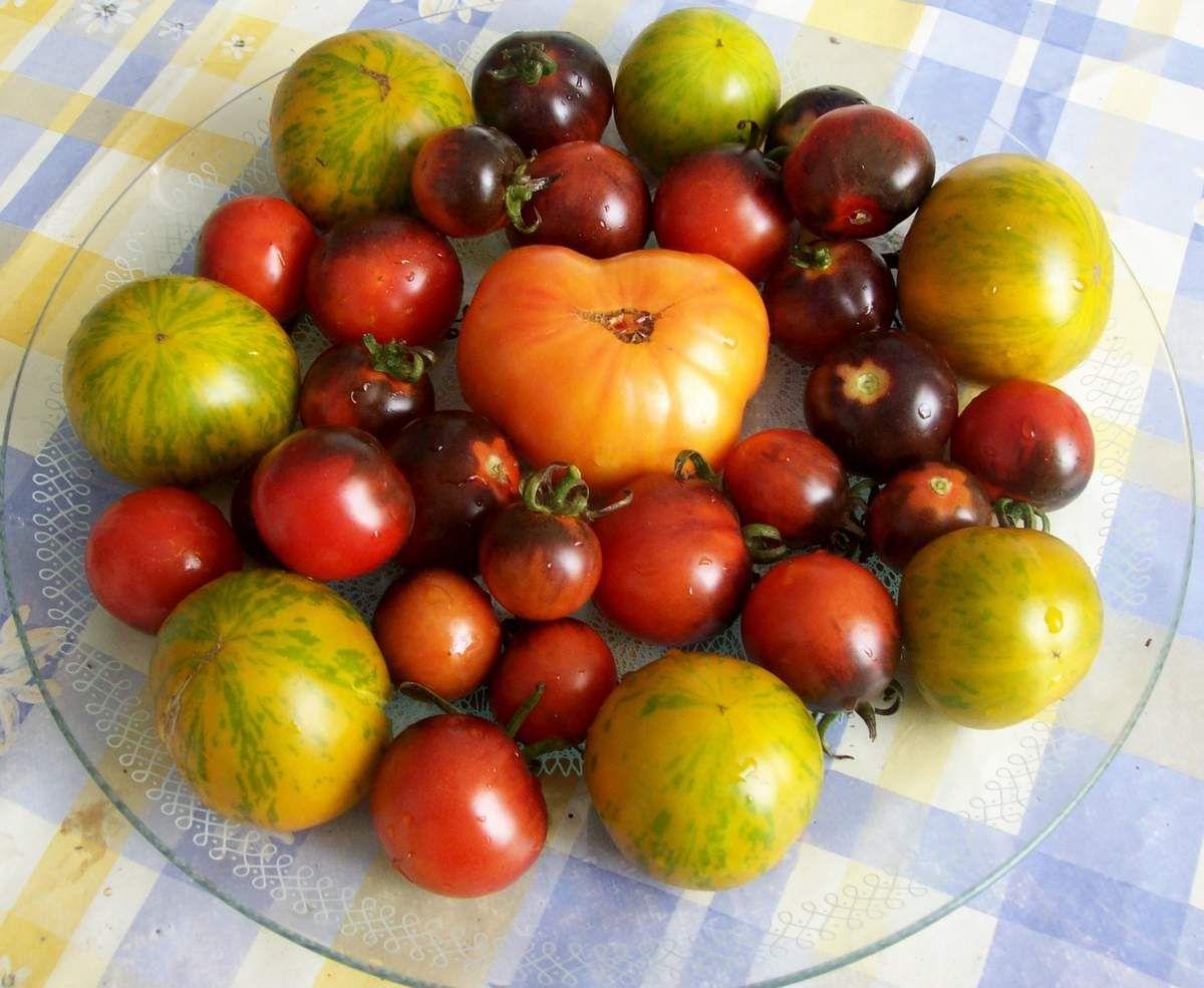 Drei wohlschmeckende Tomatensorten
