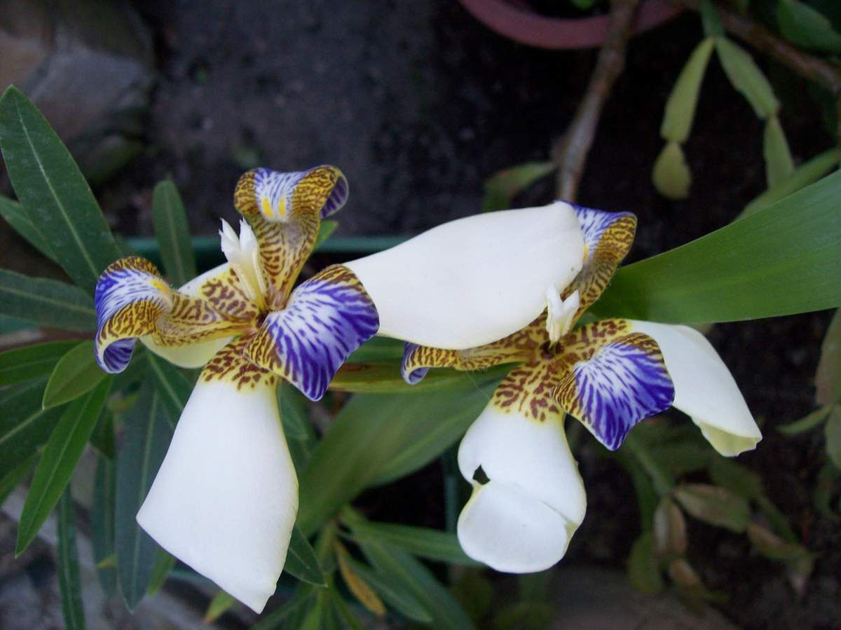 Iris des Südens