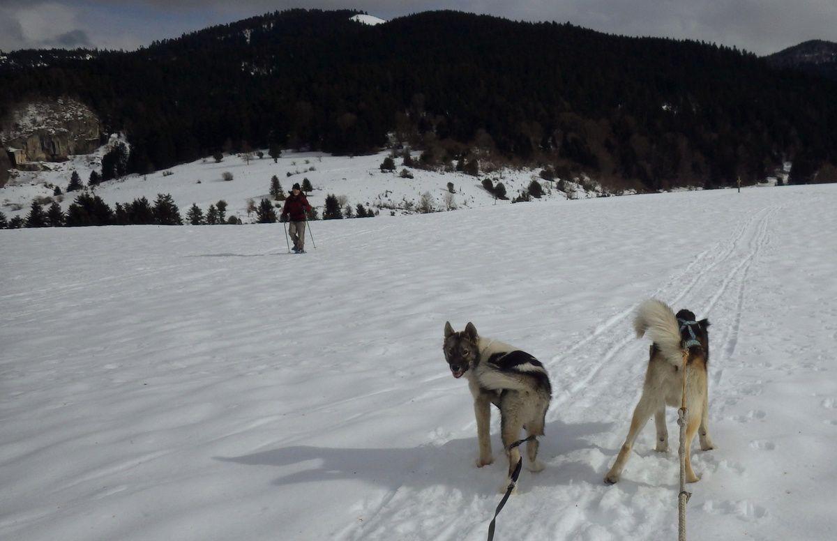 Cani raquette avec les chiots