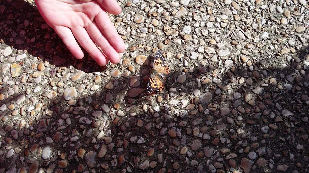 Notre élevage de papillons (CP E)