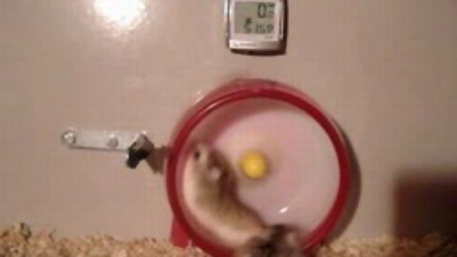 FAST AND FURIOUS HAMSTER