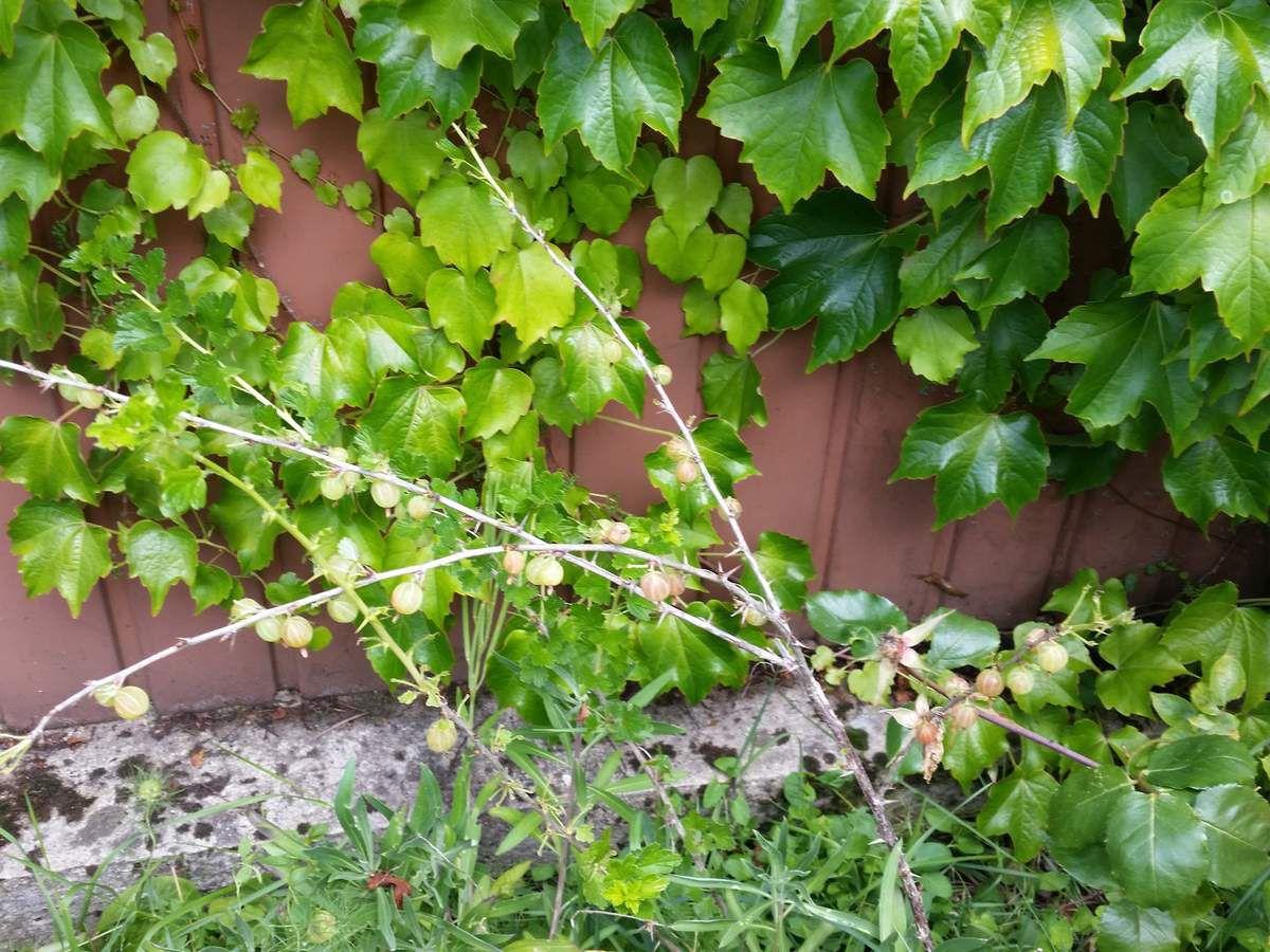 Groseiller à maquereaux (ses feuilles sont mangées par ?)