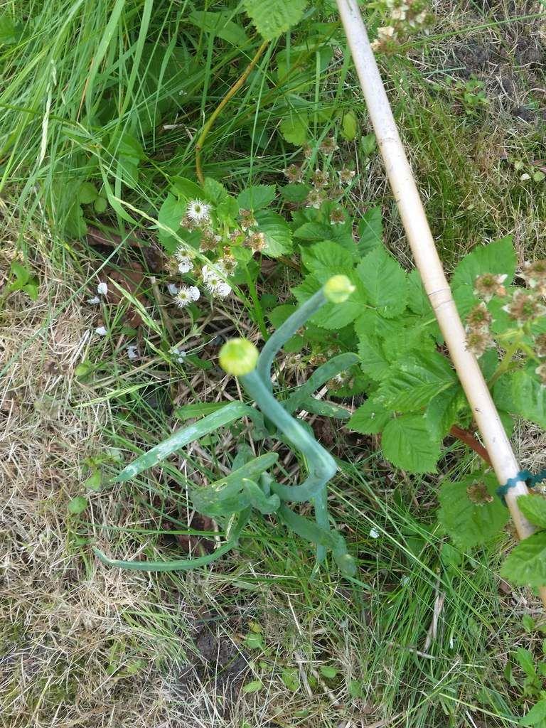Oignon germé du commerce, planté pour récupérer les semences