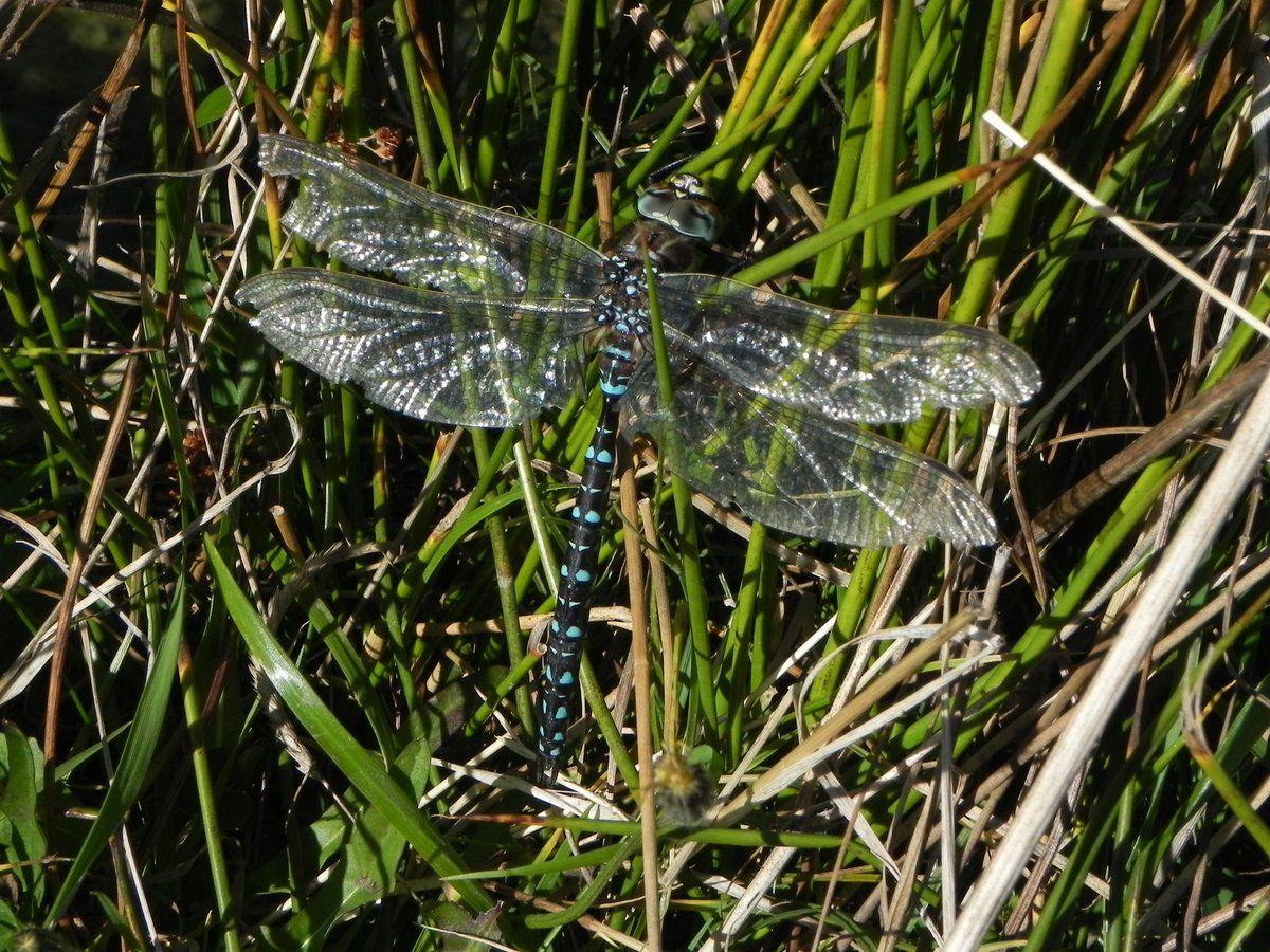 Rubanier à feuilles étroites, petite mare et Aeschne bleue