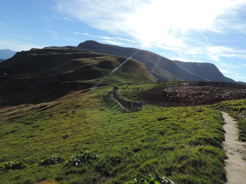 Troupeau de moutons et chèvres gardés par deux Border collie attentifs.
