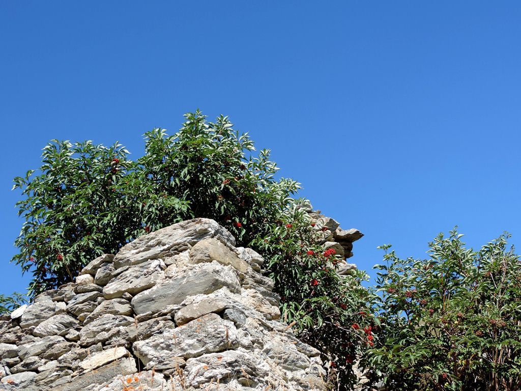 Sureau à grappes et saule pruineux (Salix daphnoides)