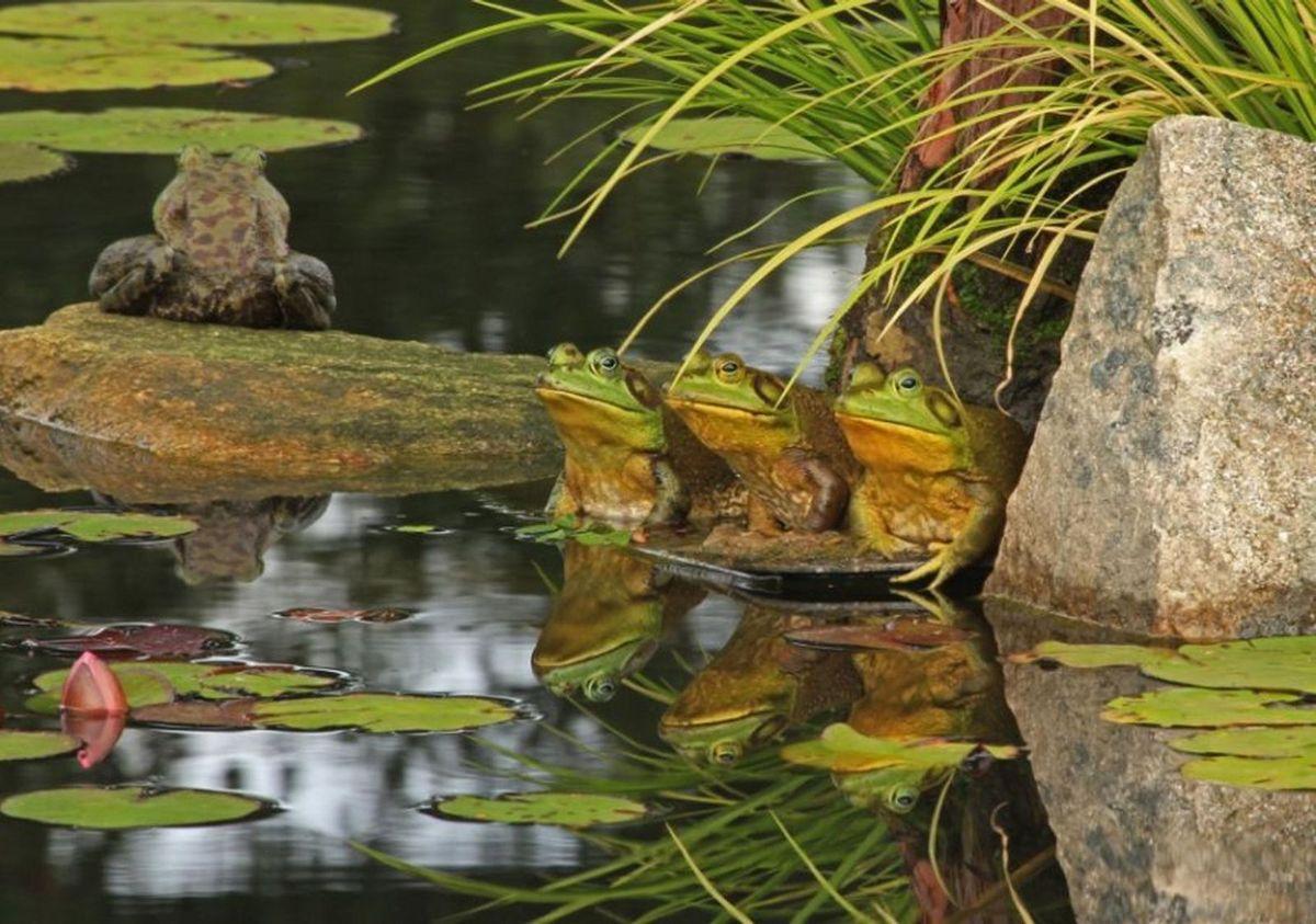 Le triste sort des grenouilles
