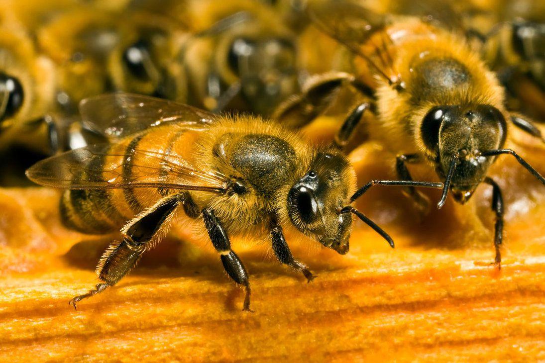 Agriculture : les abeilles transformées en esclaves de la pollinisation