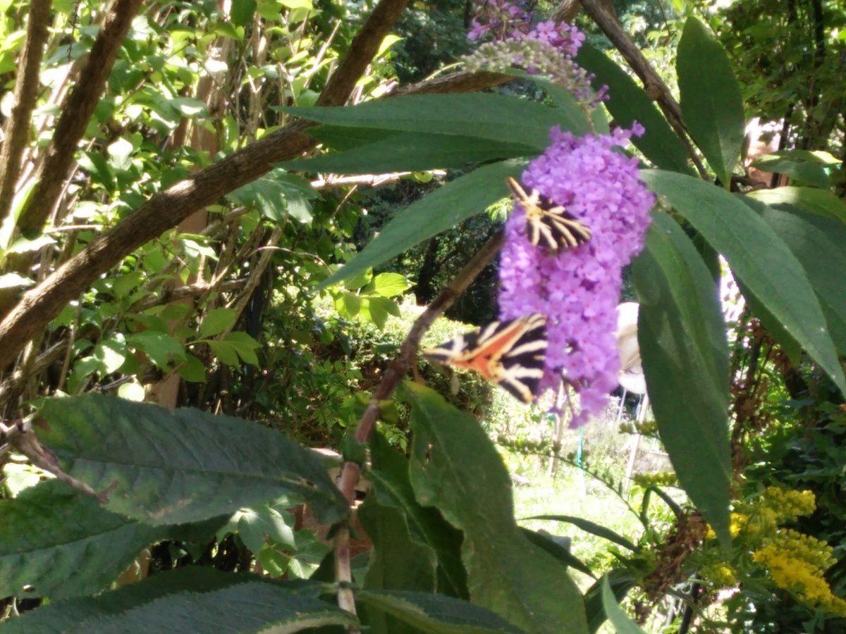 De beaux papillons sur le buddleia.