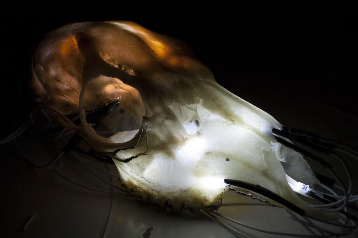 crâne de biche