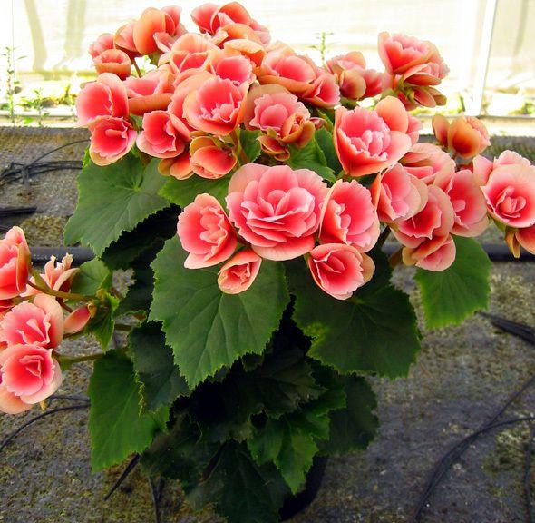 Le begonie tuberose la guida online per il giardino for Begonia pianta