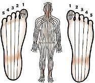Une image de la théorie des zones du Dr Fitzgerald. Le corps se partage en 10 zones qui se retrouvent à la surface des deux pieds.