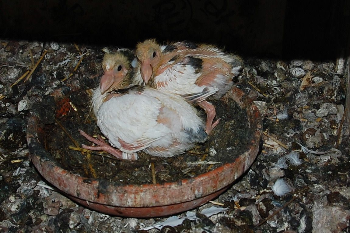 Ici point du Ichat mais bien deux petits blancs de la fameuse colombe.