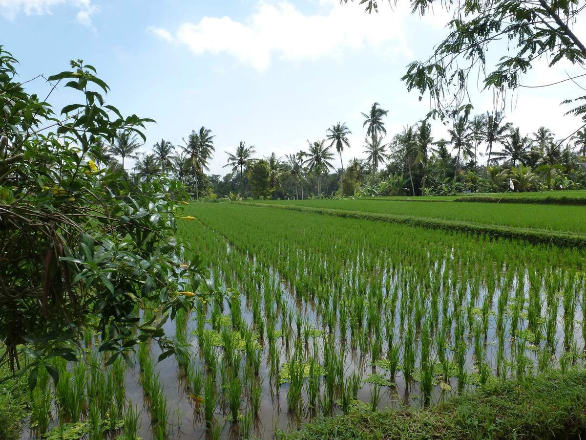 """Promenade en scooter autour d'Ubud. Petites routes superbes entourées de jungle et de rizières en terrasse. Warung (restaurant) bio excellent : chicken sandwich pour Suzanne et """"nasi campur"""" pour nous au milieu des rice fields."""