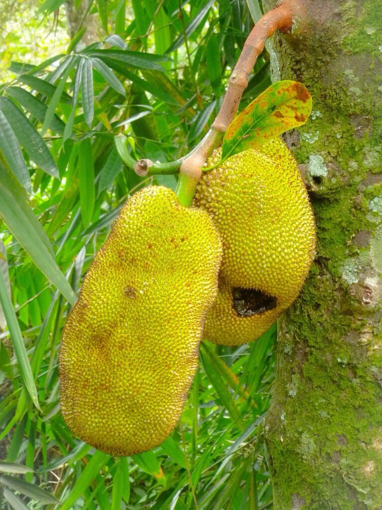 """Le """"fruit Jack"""" riche en protéines mais sent tellement mauvais qu'il n'est pas servi dans les warung (restaurant)"""