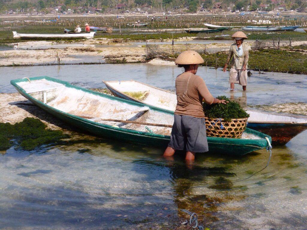 Culture des algues à Nusa Lembongan