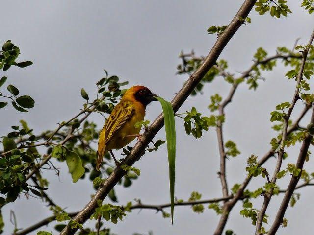 un bel oiseau d'Ethiopie&#x3B; le tisserain