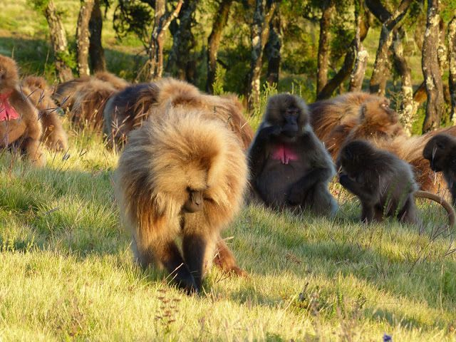 le babouin gelada est herbivore