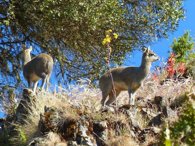 la faune d'Ethiopie&#x3B; des biches aux aguets