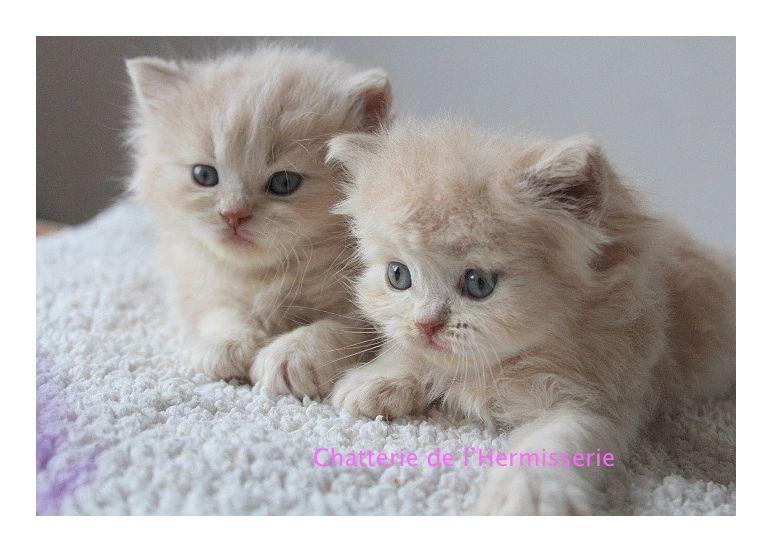 Ils sont superbes .. deux petites boules de poils adorables; ils ont maintenant un peu plus de 5 semaines ; tout va bien, ce sont deux chatons très câlins et joueurs;