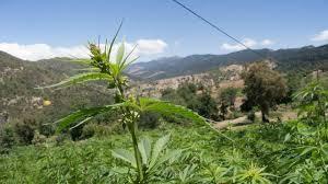 L'Algérie, nouvelle plateforme mondiale du cannabis ?