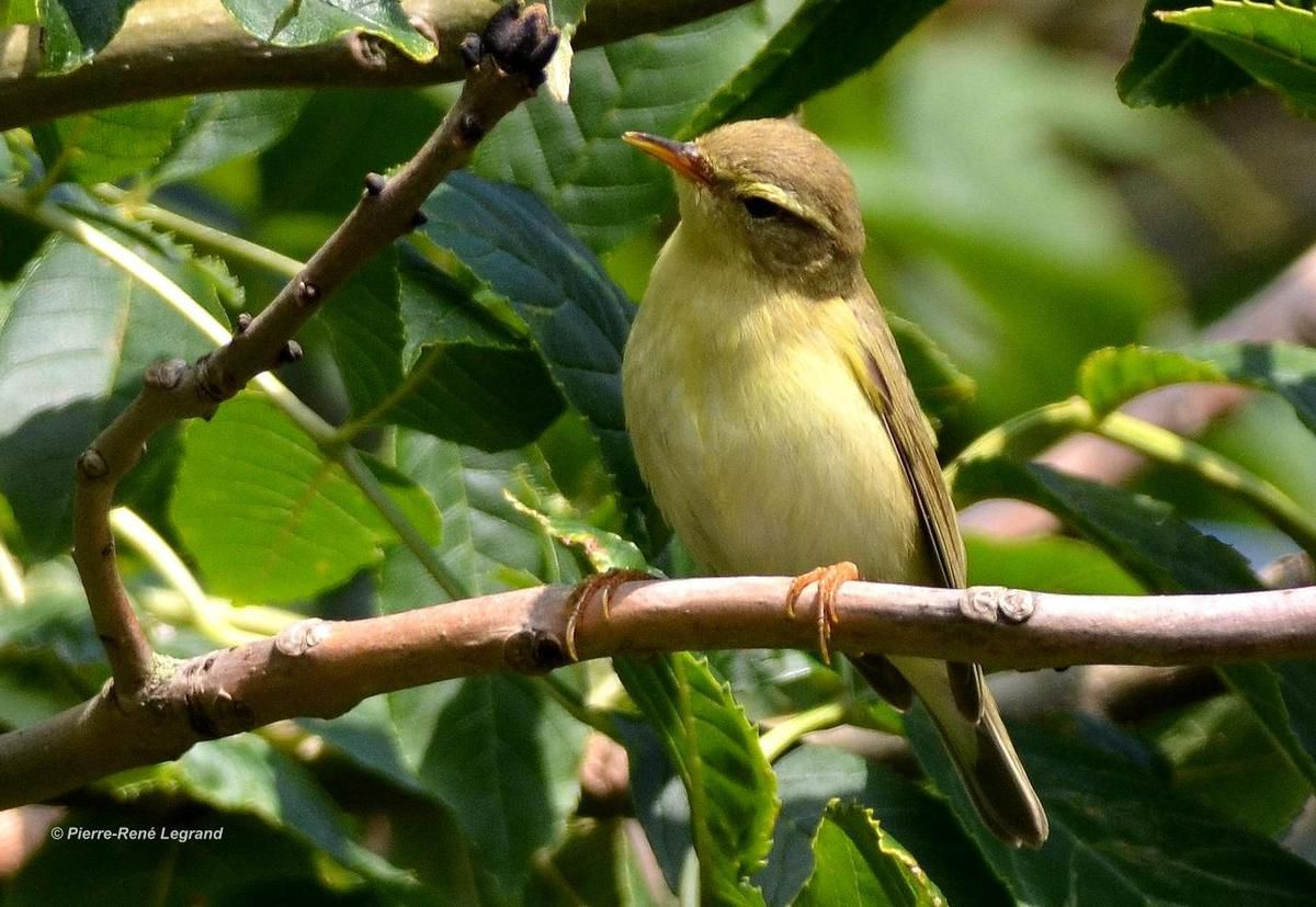Pouillot fitis (Phylloscopus trochilus) - Willow Warbler
