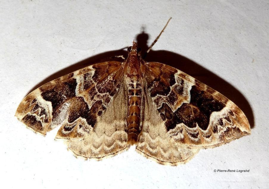 Eulithis prunata - Cidarie du Prunier - Phoenix - Villeneuve d'Ascq (Nord), juin 2016