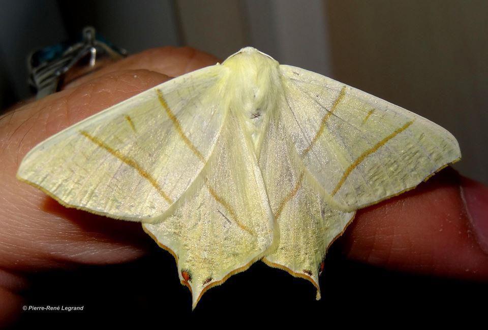 Ourapteryx sambucaria - Phalène du sureau - Swallow-tailed Moth - Audinghen (Pas-de-Calais), juillet 2015