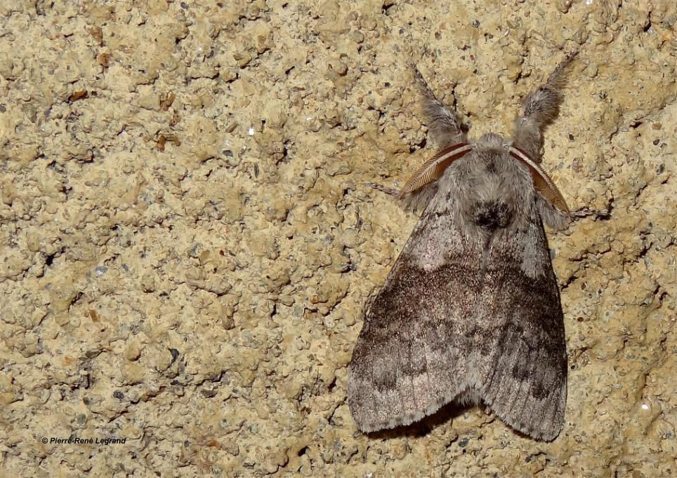 Calliteara pudibunda - Pudibonde - Pale Tussock - Mialet (Gard), mai 2015
