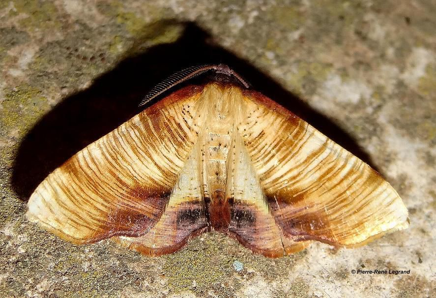 Plagodis dolabraria - Phalène linéolée - Scorched Wing - Mialet (Gard), mai 2015