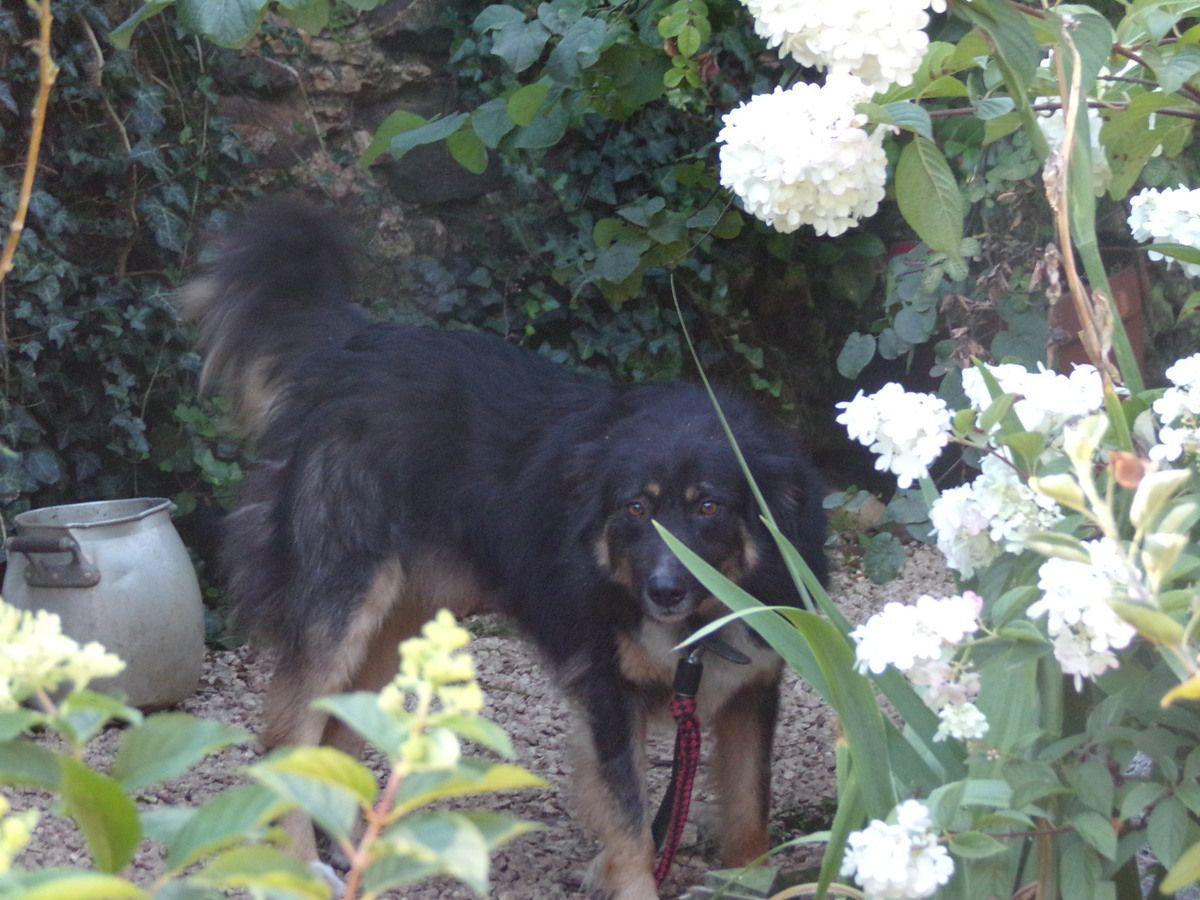A l'adoption : Youmi (parrainé par Veg Racula), un beau chien croisé berger allemand et berger roumain